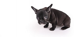 sad female brindle French Bulldog