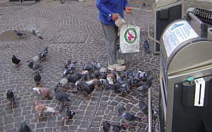 El uso del pienso anticonceptivo para el controlar la población de palomas